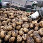 Superpotência agrária fica sem batatas novamente