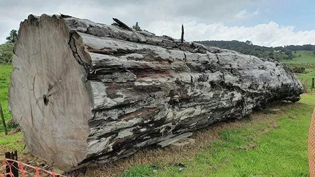 árvore fossilizada